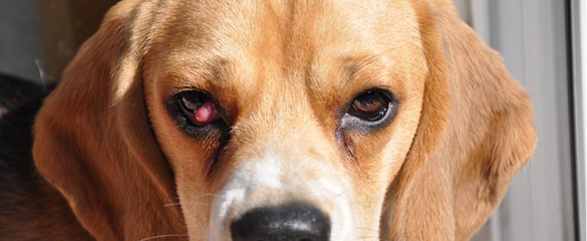 Hiperplazia glandei pleoapei a treia (Cherry eye)