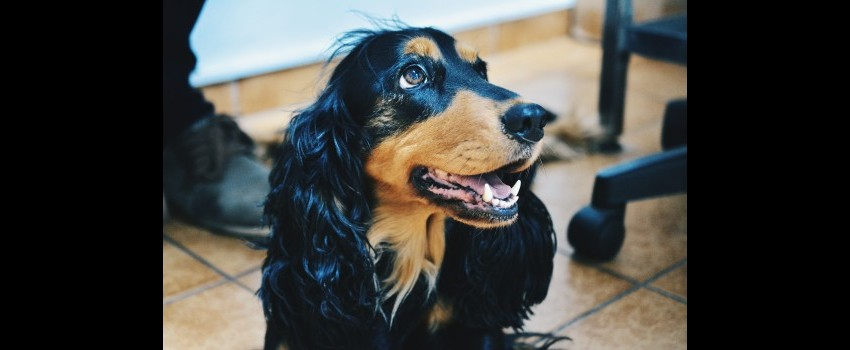 Parvoviroza la câine